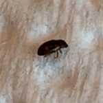 Black Carpet Beetle, perhaps
