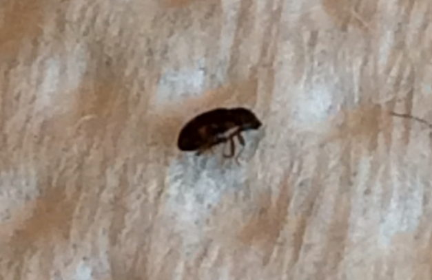 Possibly Black Carpet Beetles - What's That Bug?