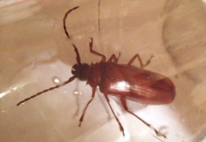 Brown Prionid