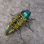 Jewel Beetle: