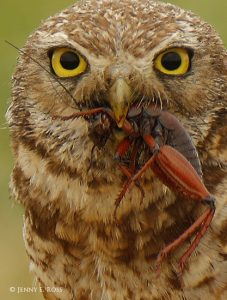 Burrowing Owl eats Camel Cricket