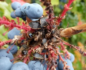 Conchuela Stink Bug Nymphs