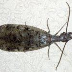 Female Dobsonfly