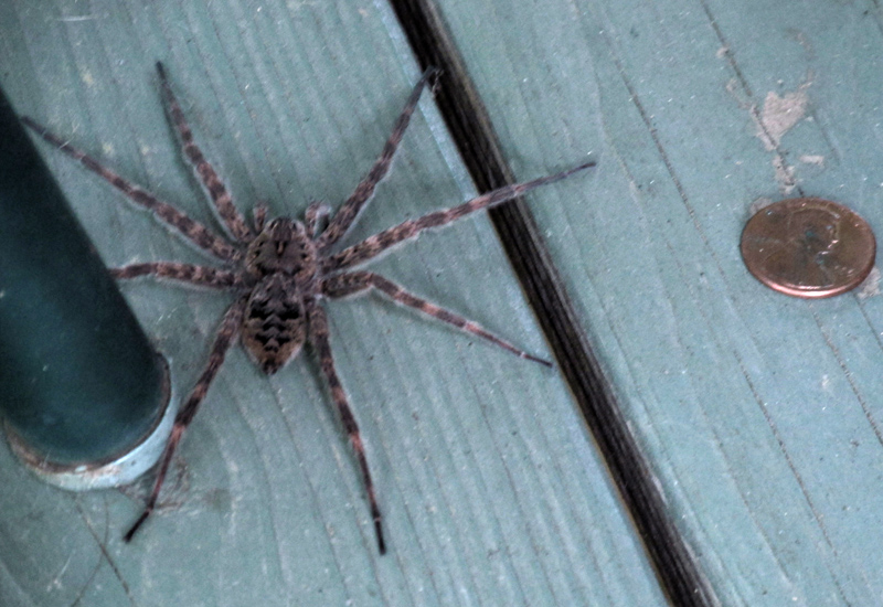 Fishing Spider - What's That Bug?