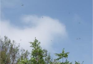 Swarming Green Darners