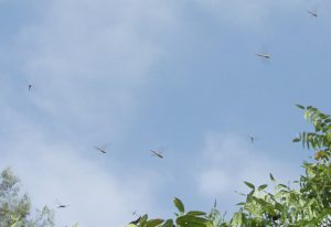 Swarming Green Darners