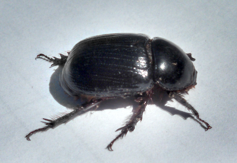 Dung Beetle Drawing - Bing images Q The Dung Beetle