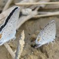 Puddling Eastern Tailed Blues