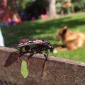 Elm Sawfly