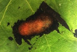 Elm Sawfly Cocoon