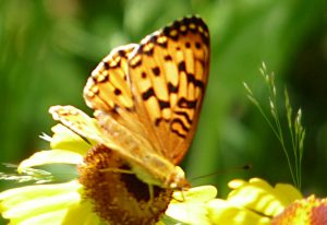 Greater Fritillary