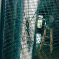 Giant Crane Fly