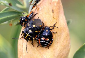 Adult Harlequin Stink Bug with two nymphs