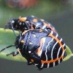 Harlequin Stink Bug Nymphs