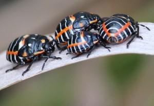 Immature Harlequin Stink Bugs