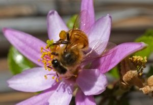 Honey Bee with Pollen Sac
