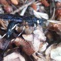 Horntail:  Urocerus albicornis
