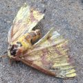 Bedraggled Imperial Moth