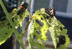 Japanese Beetles mating and eating