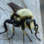 Bee-Like Robber Fly