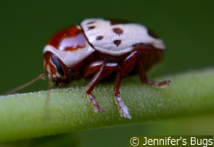 Case Bearing Leaf Beetle:  Cryptocephalus mutabilis