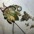 Deformed Luna Moth Lays Eggs