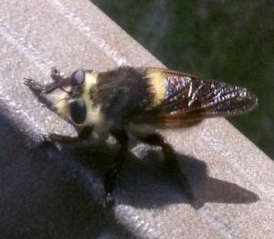 Bee Killer:  Mallophora fautrix