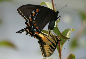 Mating Tiger Swallowtails