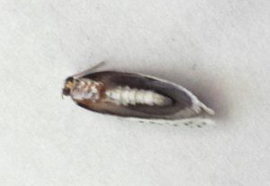 Unknown Microlepidoptera