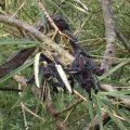 Mourning Cloak Caterpillar Aggregation