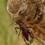 Owl Eats Orthopteran