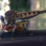 Redfooted Cannibalfly eats Paper Wasp
