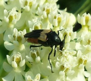 Wedge-Shaped Beetle