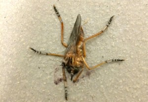 Swatted Robber Fly