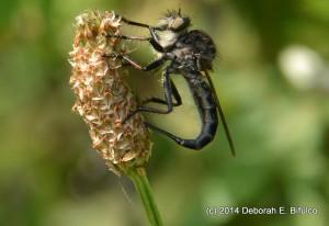 Female Robber Fly deposits eggs