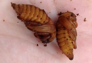 Scarab Beetle Pupae
