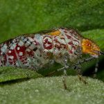 Scentless Plant Bug:  Niesthrea louisianica