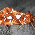Silver Spotted Fern Moth