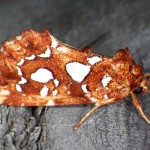 Silver Spotted Fern Moth