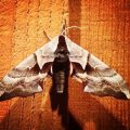 Sphinx Moth:  Smerinthus ophthalmica