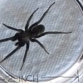 Female Southern House Spider