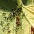 Squash Bug Hatchlings