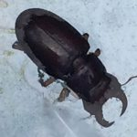 Drowned Reddish Brown Stag Beetle