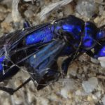 Steel Blue Cricket Hunter