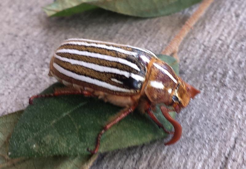 June Bug Beetle - photo#47