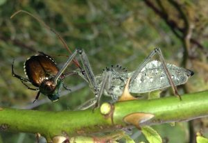 Wheel Bug eats Japanese Beetle