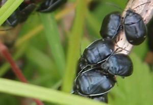 White Margined Burrowing Bugs
