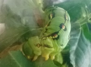 Whitelined Sphinx Caterpillar