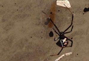 Immature female Widow Spider