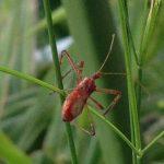Assassin Bug:  Zelus tetracanthus
